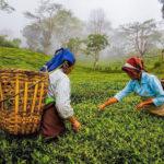 Tea Estates Mapping